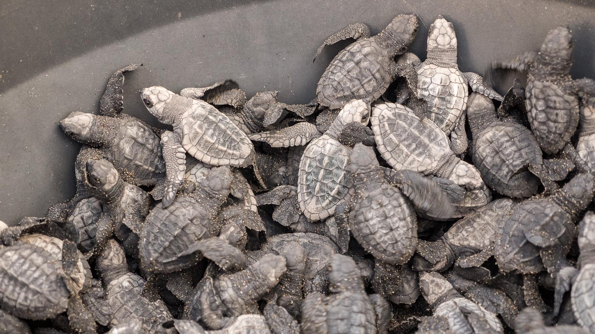 Pouštíme želvičky do moře.